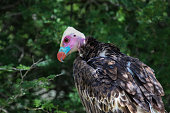 Close up of a white headed vulture
