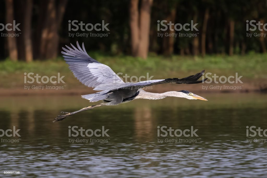 Close up of a White necked heron flying over a calm river stock photo
