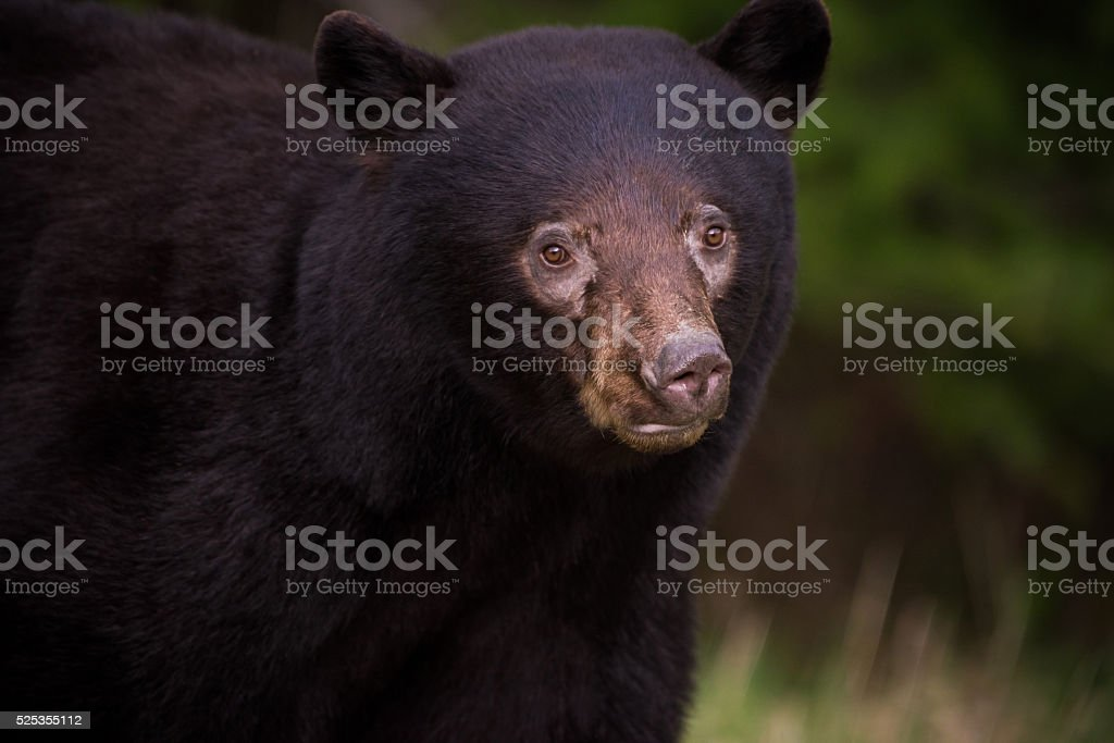 Close up of a wild Black Bear stock photo