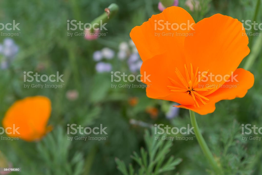 Close up of a wild poppy flower stock photo