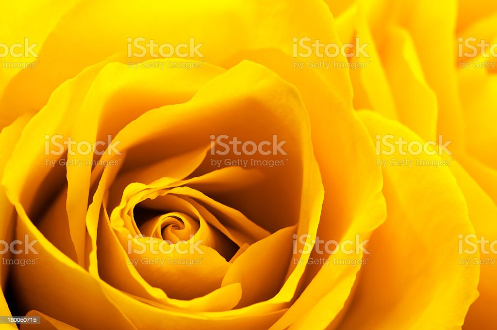 Close up of a yellow rose royalty-free stock photo