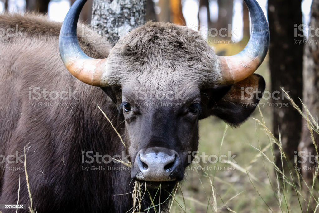 Close up of a young Gaur, eating stock photo