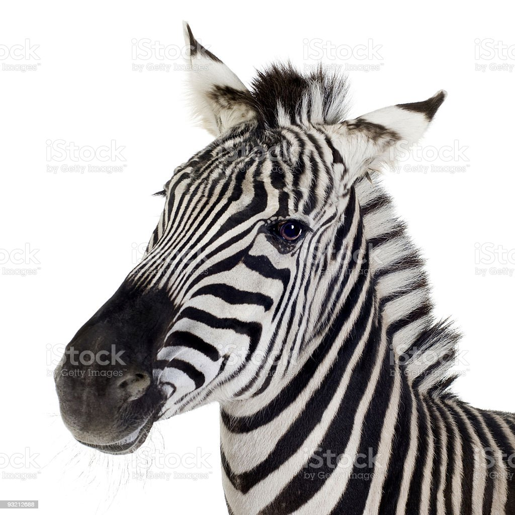 Close up of a zebra on a white background stock photo