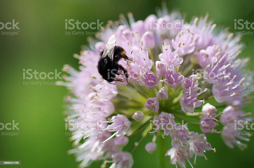 Close up of Allium flower with bumblebee stock photo
