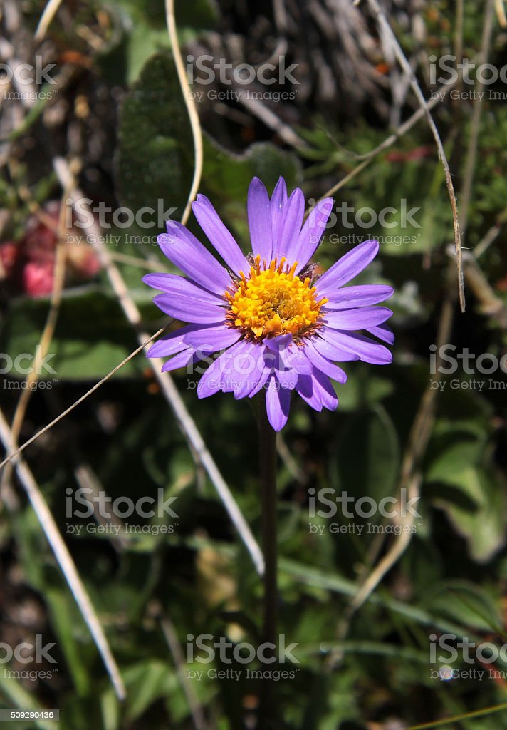 Close up of Alpine Aster stock photo