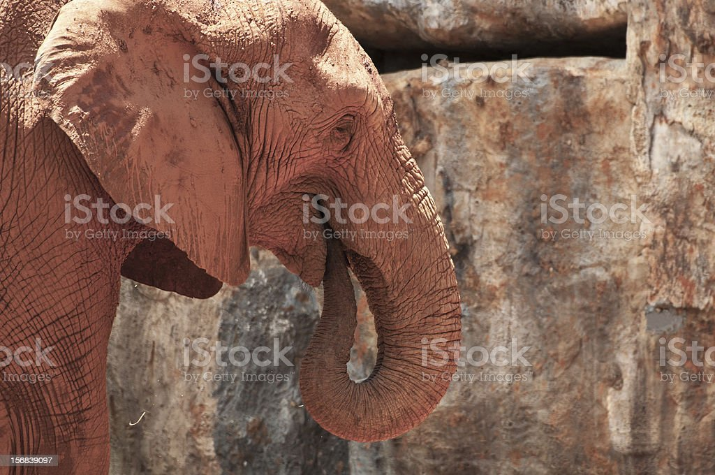 Zbliżenie Słoń afrykański zbiór zdjęć royalty-free