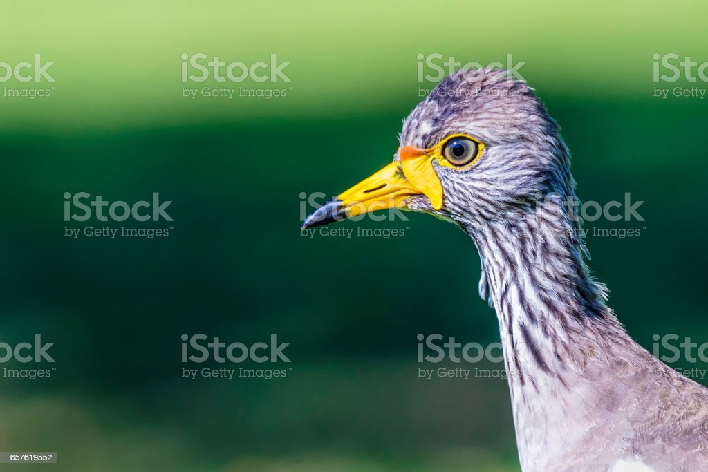 Close up of an African Wattled Lapwing stock photo
