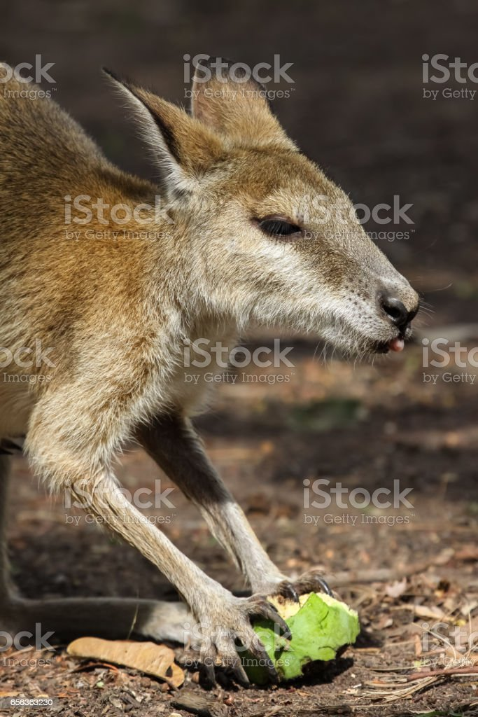 Close up of an Agile wallaby feeding on fruit stock photo