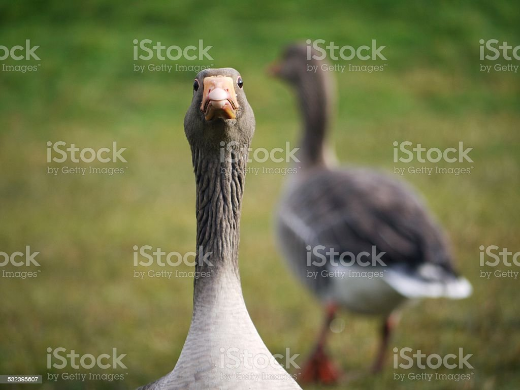 close up of an annoyed brown goose stock photo