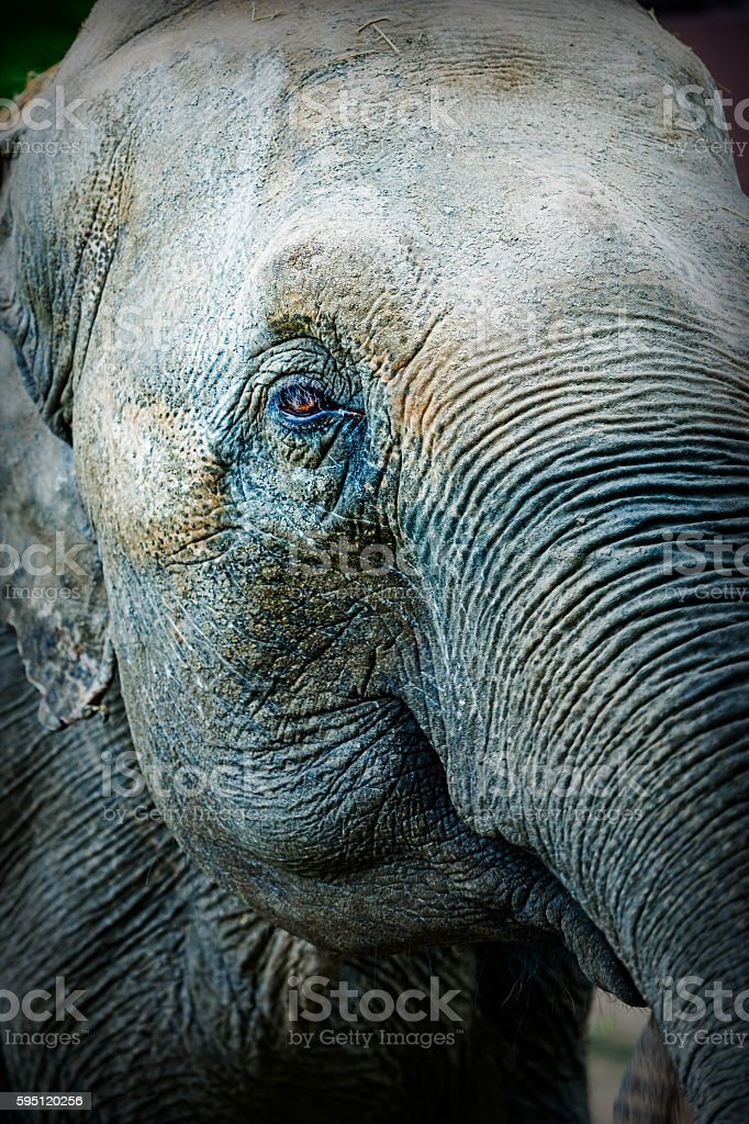 Close up of an Asian elephant stock photo
