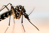 Close up of an Asian Tiger Mosquito