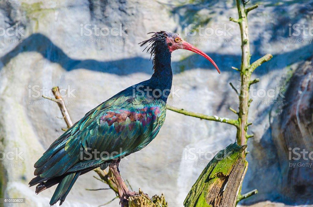 Close up of an beautiful Northern bald ibis stock photo