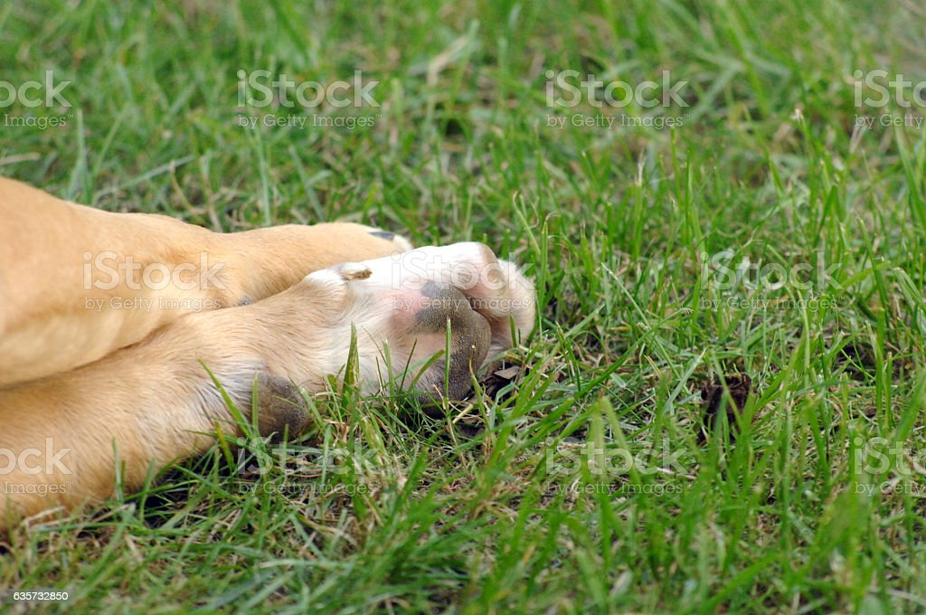 Close Up of an dog amstaf paw on a grass stock photo