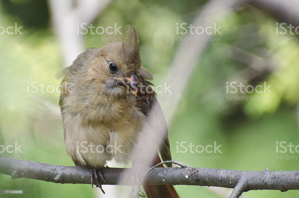 Close Up of an Immature Northern Cardinal stock photo