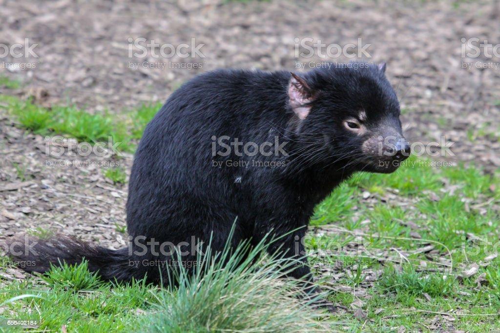 Close up of an Tasmanian devil, facing stock photo