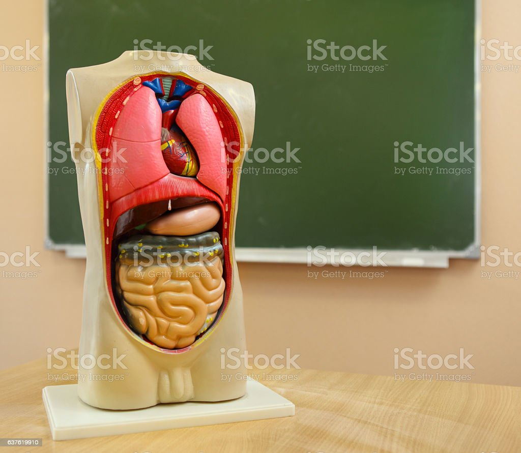 Close up of anatomical  human body model stock photo