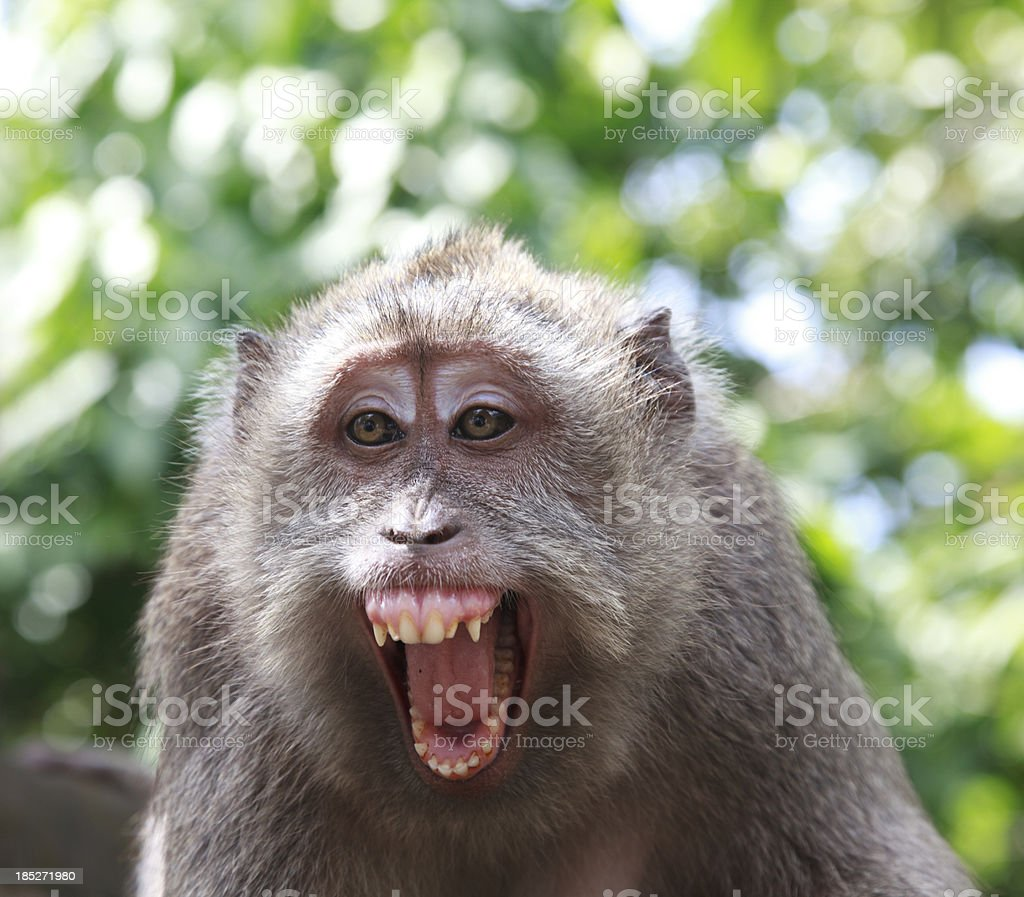 close up of angry monkey stock photo