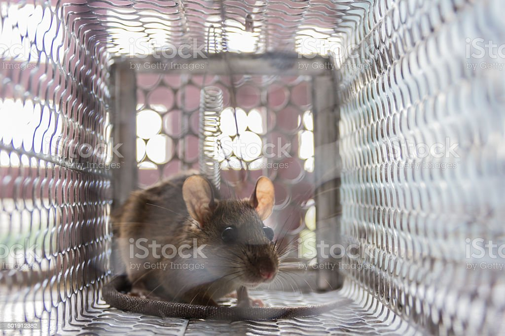 Close up of anxious rat trapped and caught stock photo