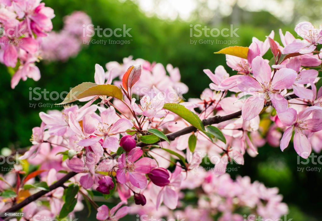Close up of apple tree blooms on sunny spring morning. Beautiful spring tree pink blossoms background. stock photo