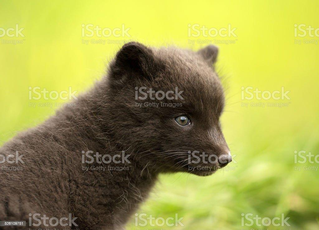 Close up of Arctic fox Vulpes lagopus cub stock photo