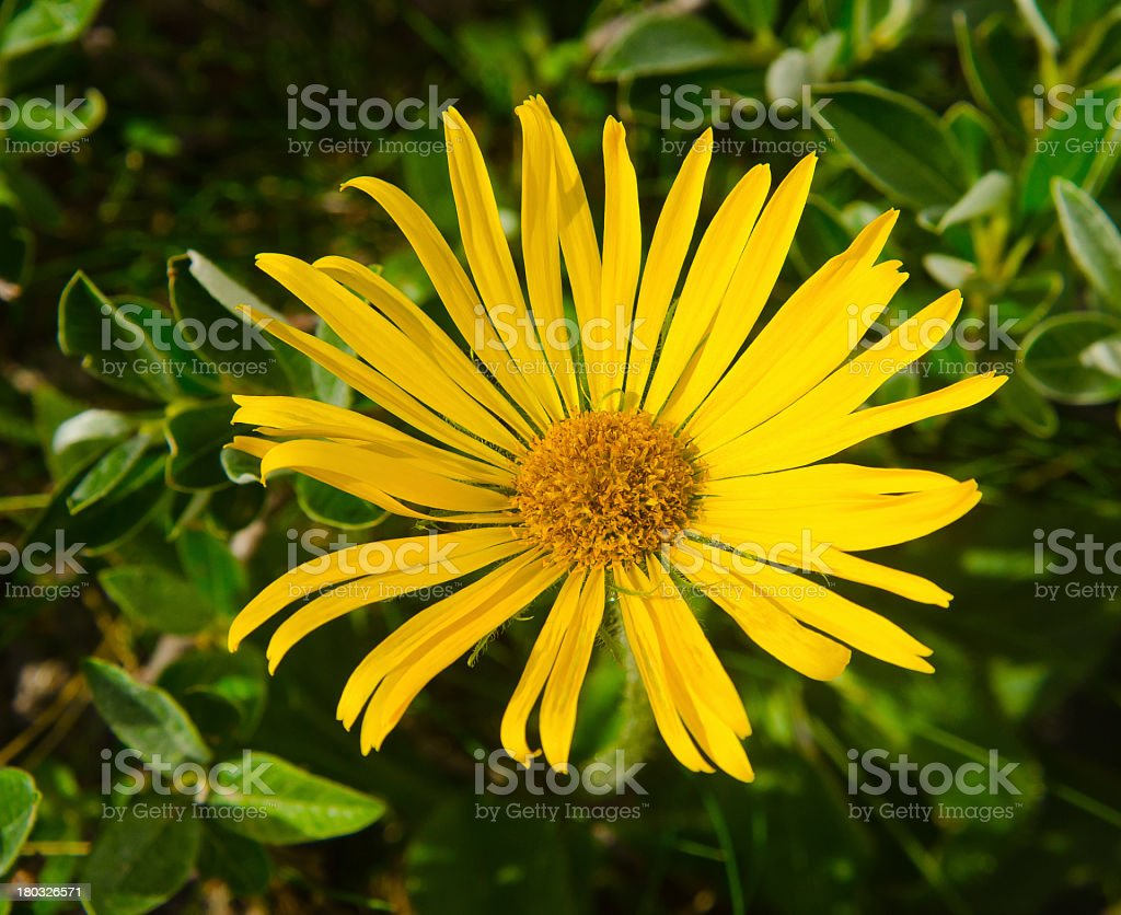 Close up of arnica Montana flower stock photo
