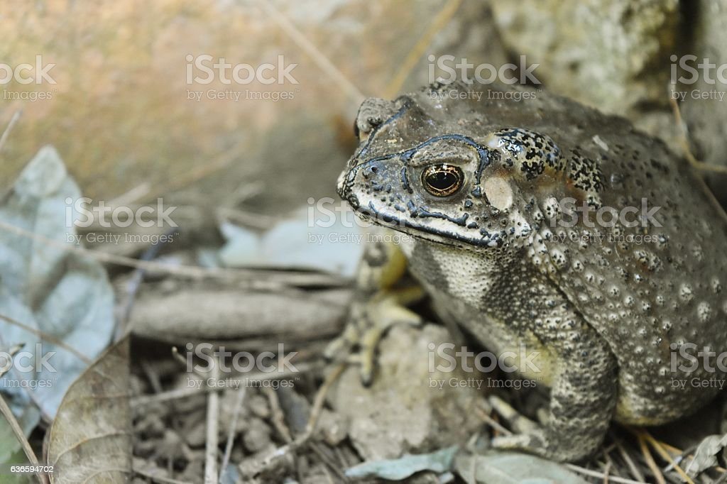 Close - up of Asian common toad stock photo
