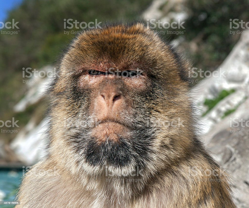 Close up of attentive male macaque, Gibraltar stock photo
