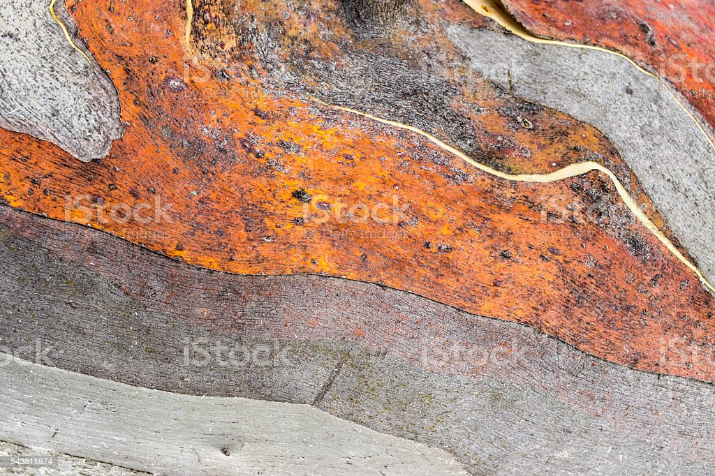 Close up of Australian Snow Gum trunk stock photo