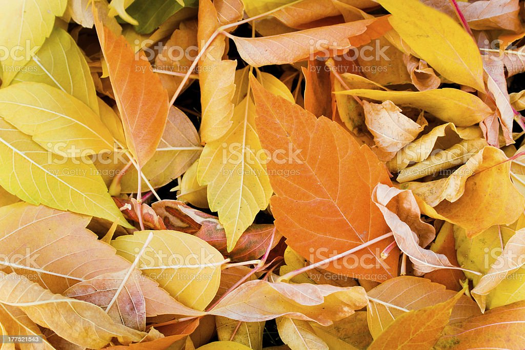 Close up of Autum leaves royalty-free stock photo