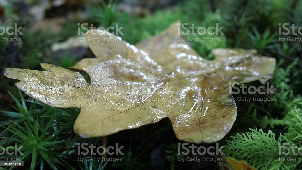 Close up of autumnal/fallen leaf stock photo