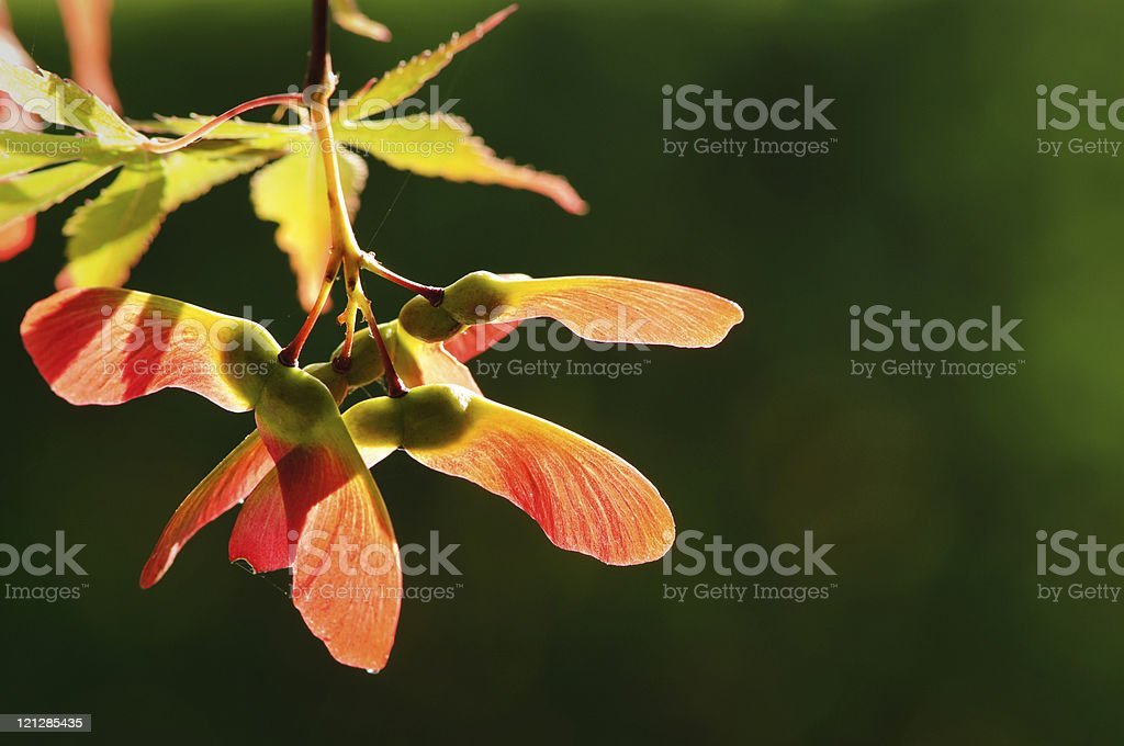 Close up of backlit autumnal maple seeds stock photo