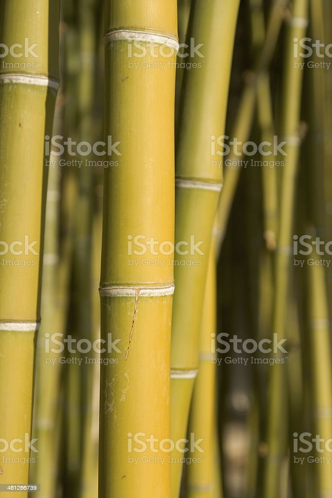 Close up of Bamboo grove stock photo