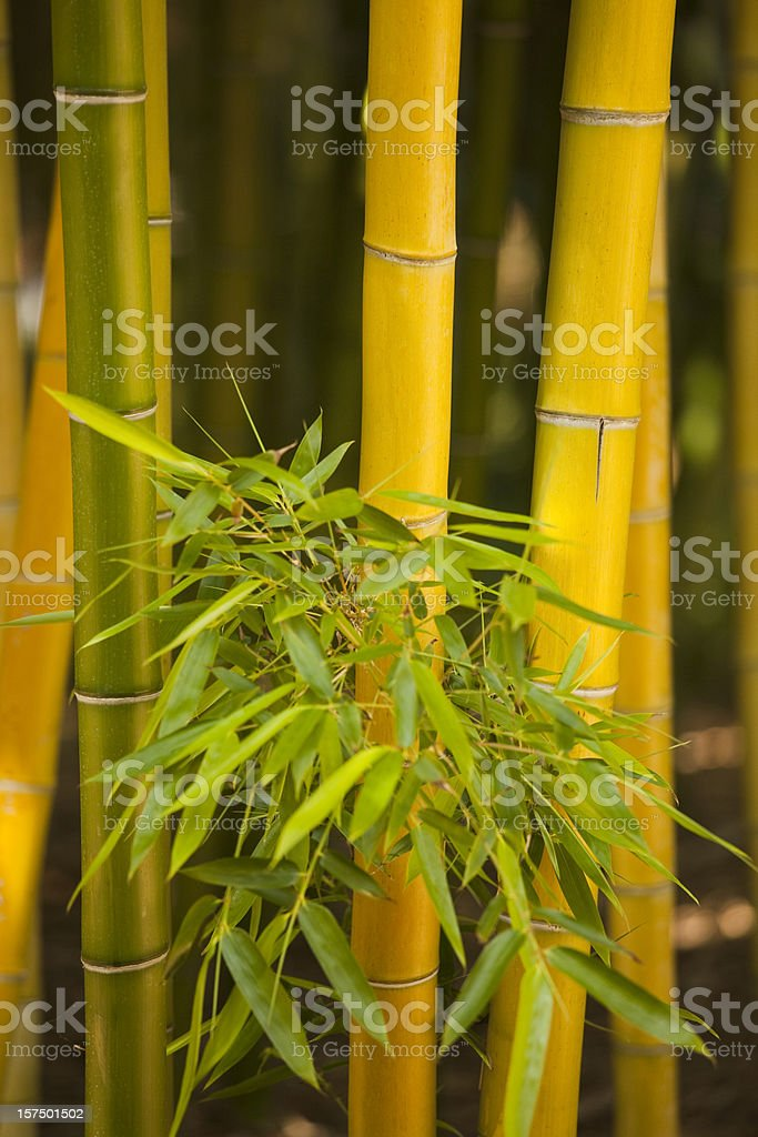 Close Up of Bamboo Leaves on Green and Yellow Poles stock photo