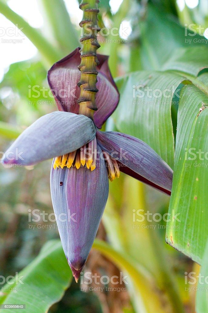 Close up of banana tree bud stock photo