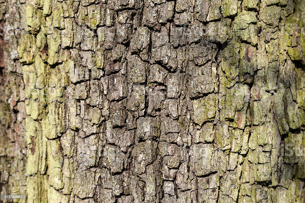 close up of bark of an oak tree stock photo