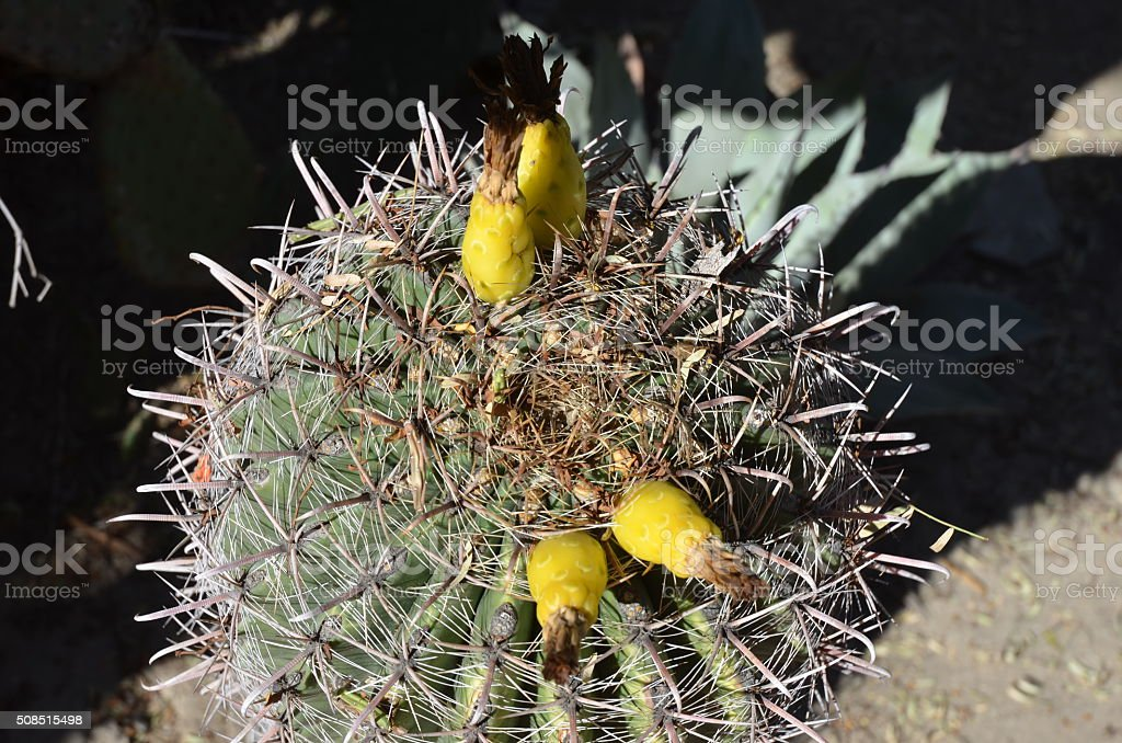 Close up of Barrel Cactus (Ferocactus Wizlizini) royalty-free stock photo
