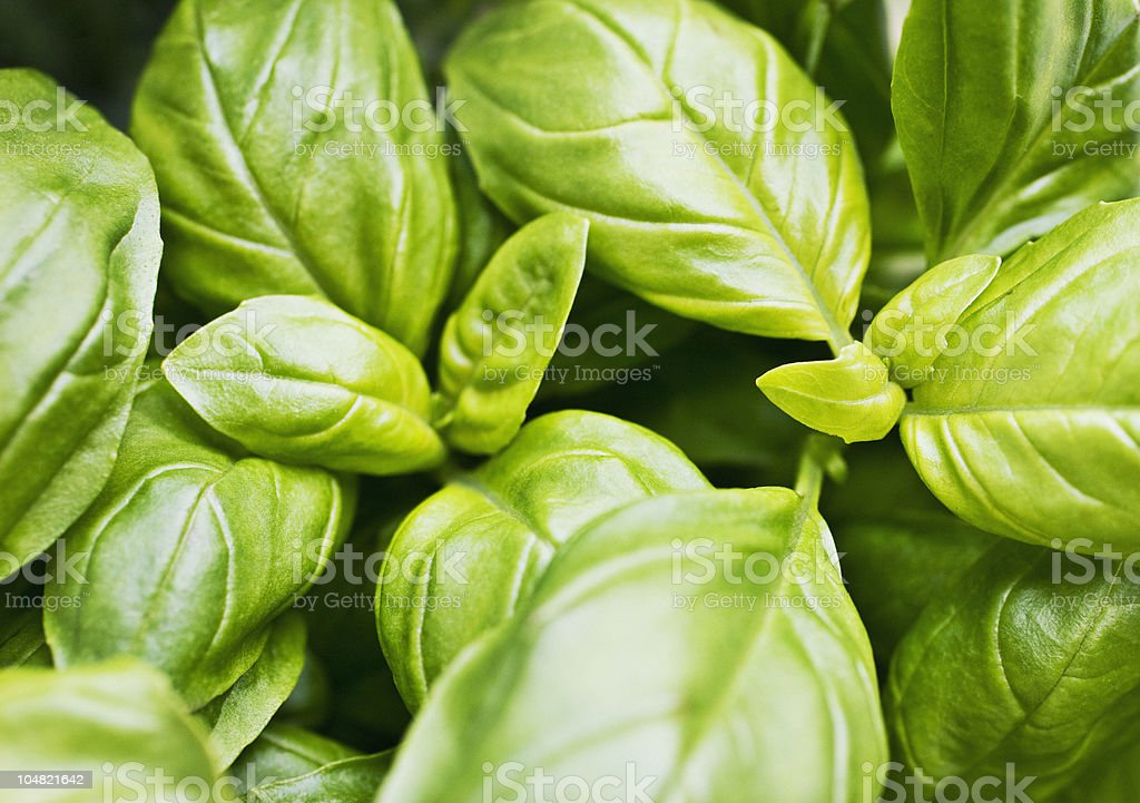 Close up of basil leaves stock photo