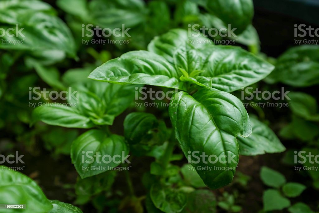 Close up of basil plant stock photo
