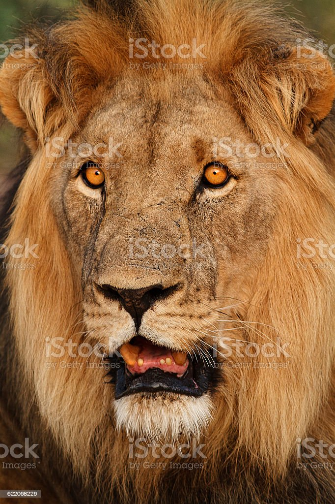 Close up of battlescarred male lion stock photo