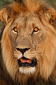 Close up of battlescarred male lion