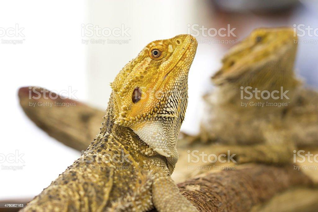 Close up of Bearded dragon. stock photo