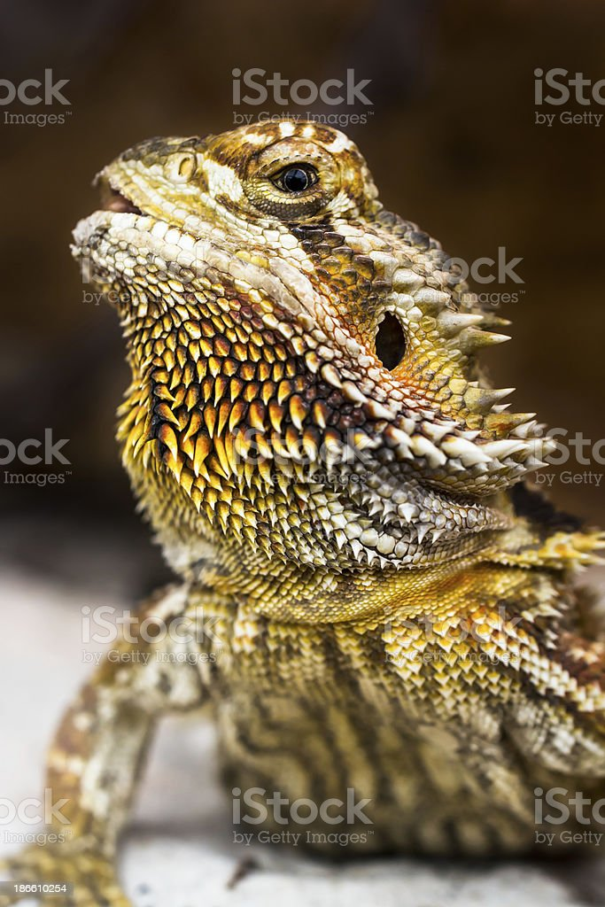Close up of bearded dragon with black background. royalty-free stock photo