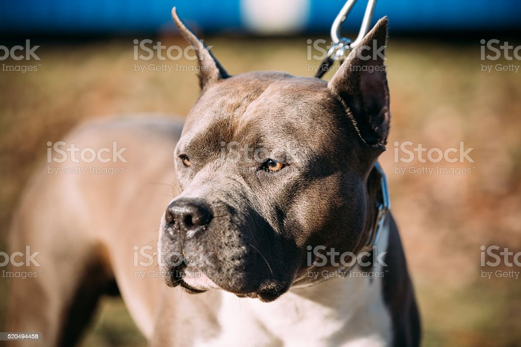 Close Up Of Beautiful Dog American Staffordshire Terrier stock photo