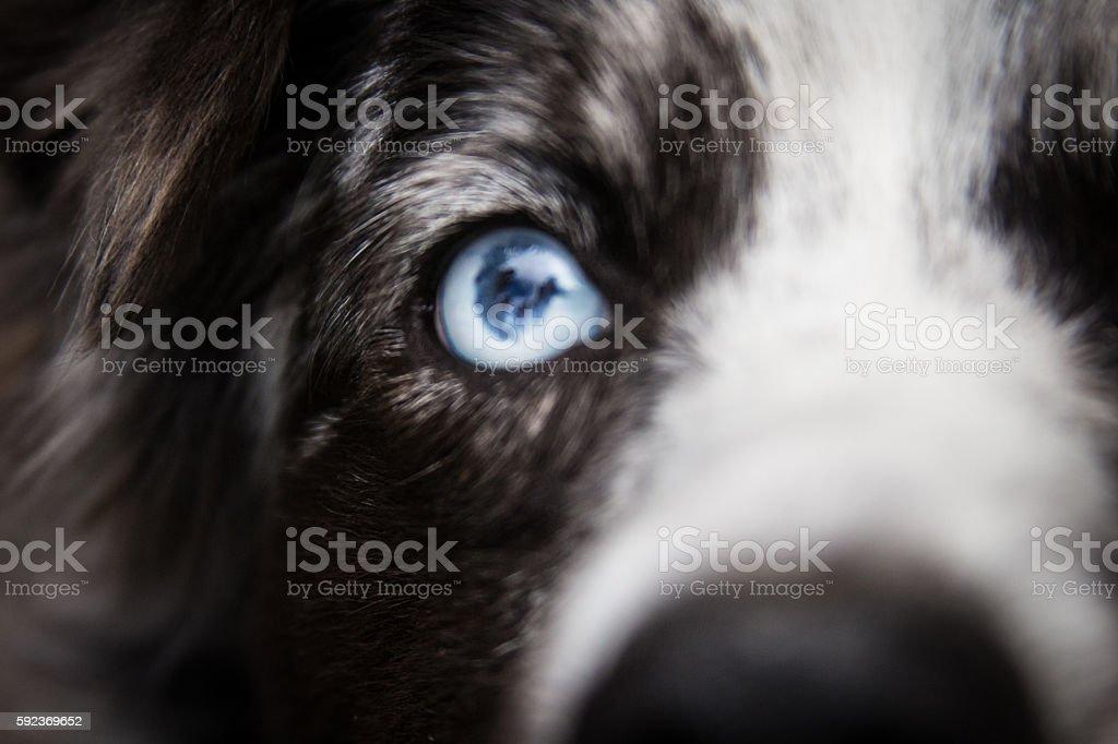 Close up of beautiful dogs blue eye stock photo