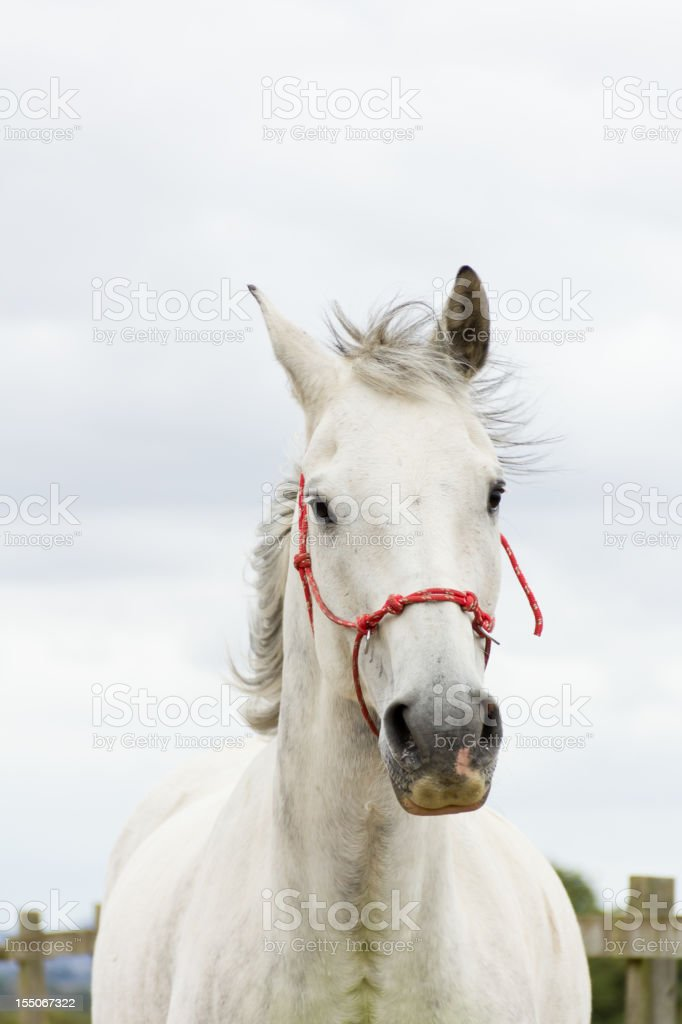 Close up of beautiful grey horse wearing red halter. stock photo
