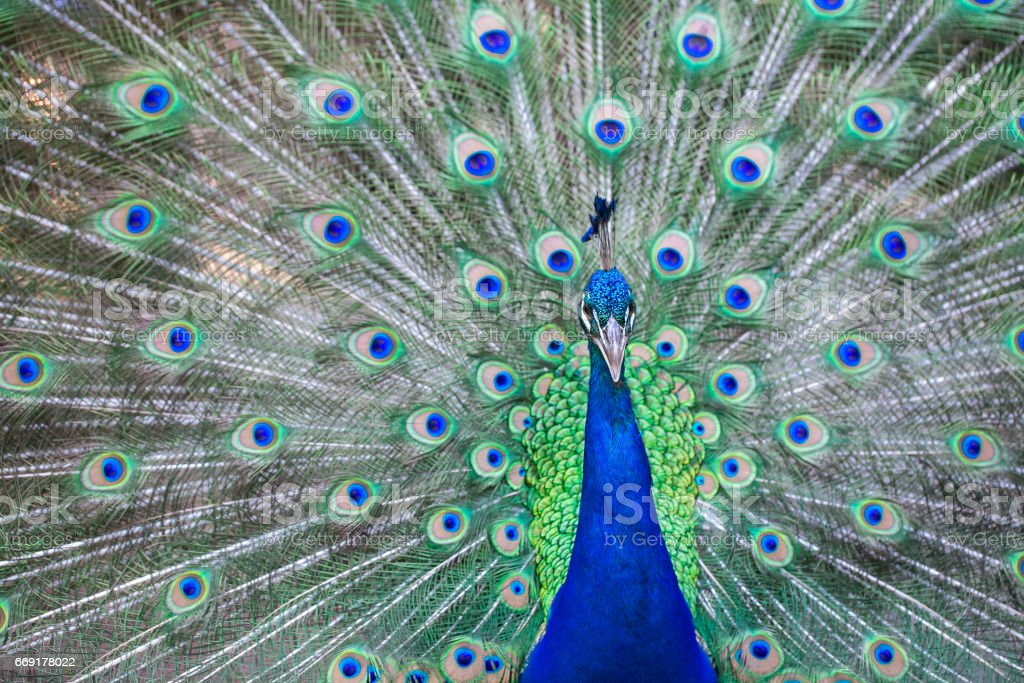 Close up of beautiful male peacock with feathers stock photo