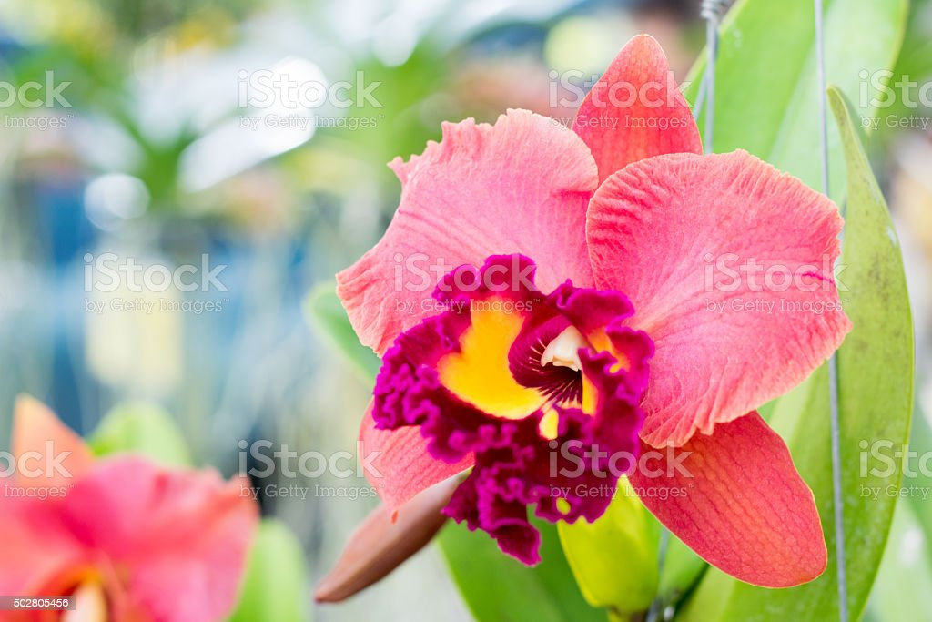 Close up of beautiful Thai orchid flower stock photo