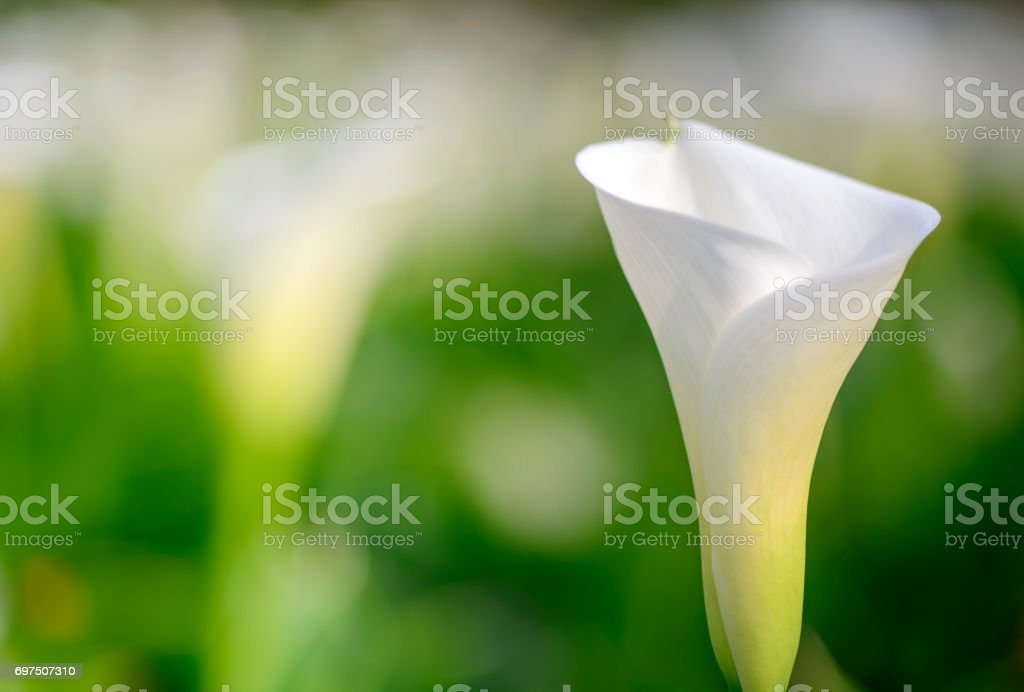 Close up  of beautiful white Arum Lily stock photo