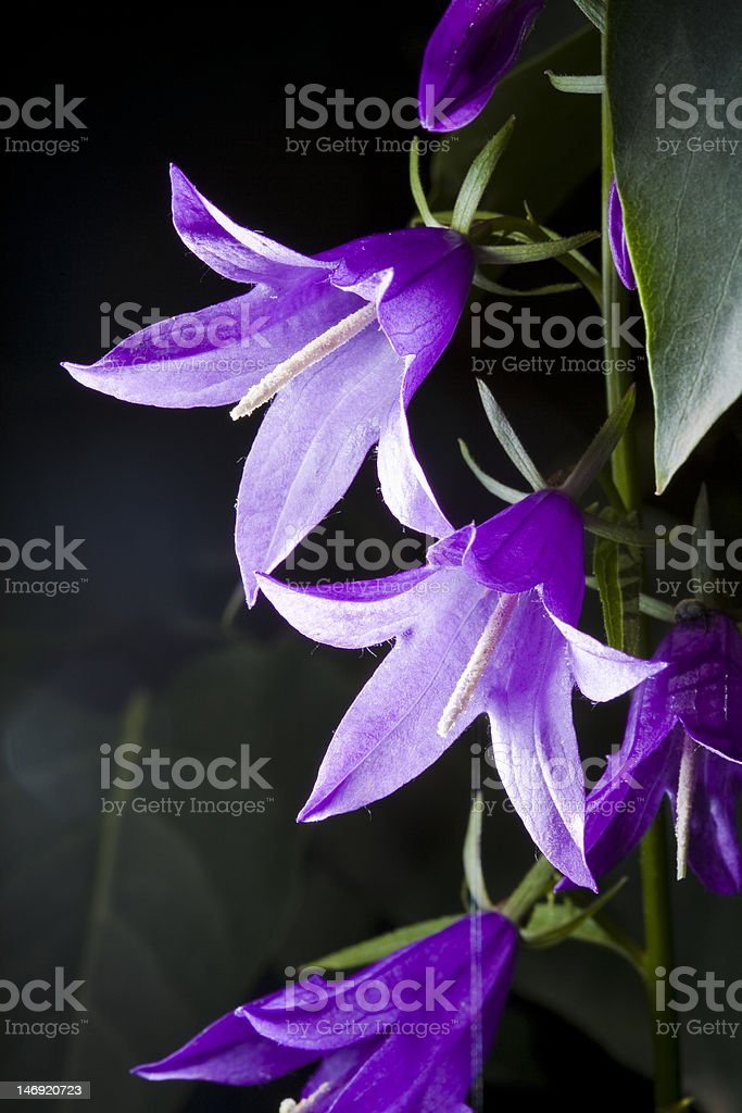 close up of bellflower royalty-free stock photo