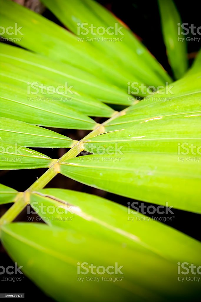 close up of betel palm leaves royalty-free stock photo